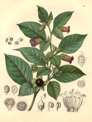 belladonnadraw