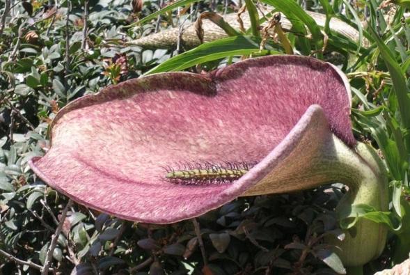 Helicodiceros-muscivorus-3.jpg