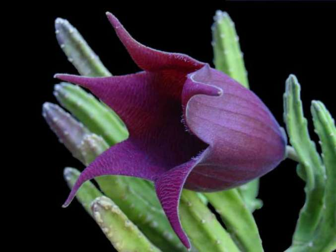 stapelia-leendertziae-black-bells2