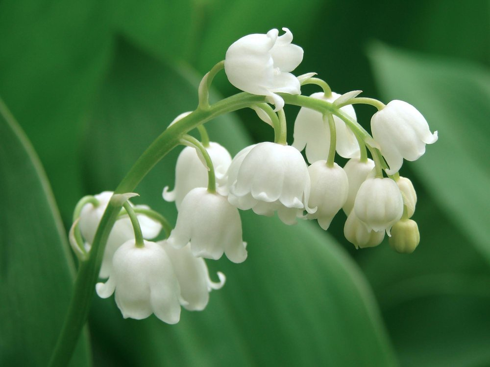 The Poisoned Garden: Lily of the Valley